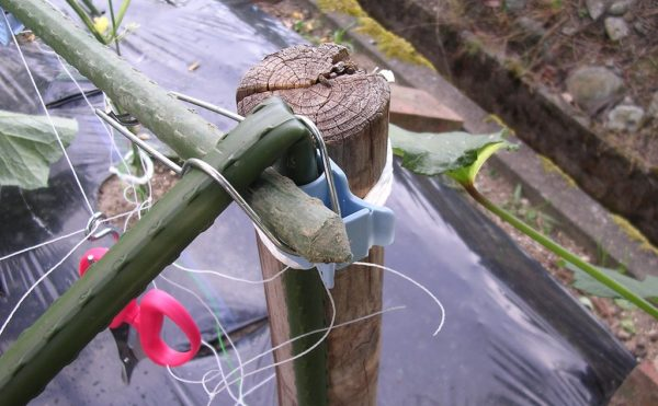 強風で菜園のキュウリの支柱が折れました
